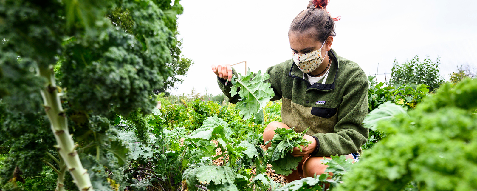 Undergraduate student Maggie Marshall picks kale as volunteers from UW-Madison's F.H. King Students for Sustainable Agriculture harvest fresh produce and vegetables from their farm plot at Eagle Heights Community Garden